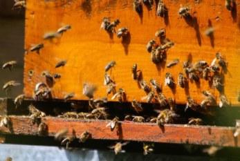Apicultura: riesgos no tan dulces como la miel